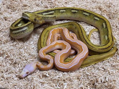 Picture of Titanium Motley Albino Maker Pair